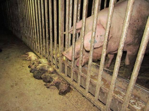 factory-farming-pigs-piglets-dead1