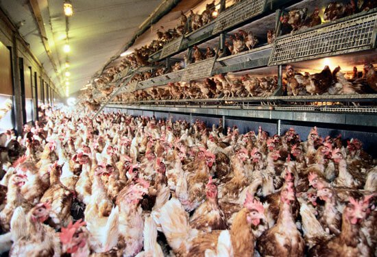 free-range-hens-overcrowded