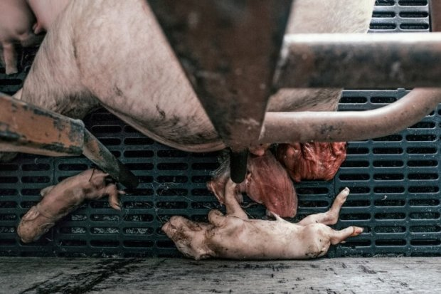 uk-pig-farm_piglets-on-grate-770x513